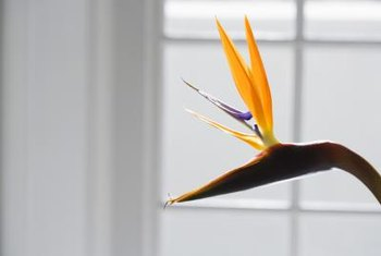 A bird of paradise bloom serves as a pop of color in any room.