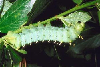 Although beautiful and unique, caterpillars can defoliate favorite plants rapidly.