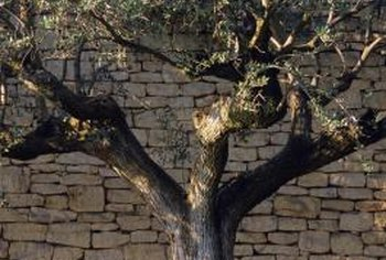 Olive trees grow slowly and require little pruning.