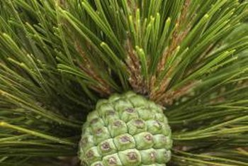 First-year female pine cones are green and hard.
