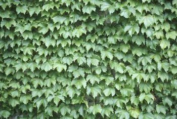 While English ivy can be attractive, it can also be invasive.