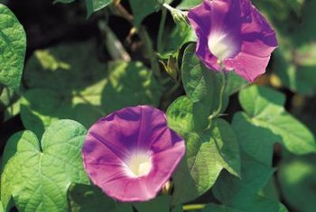 Morning glory blooms provide nectar for butterflies and hummingbirds.