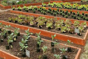 Raised beds potentially produce abundant crops without plowing.