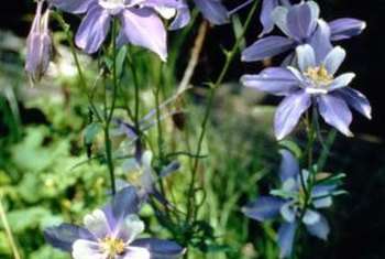Giant columbines grow best in partial shade.