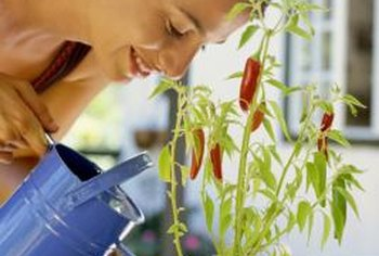 Potted peppers require regular watering to thrive indoors.