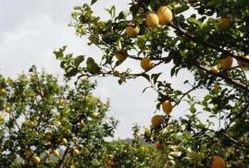 Lemon trees can produce fruit throughout the year.