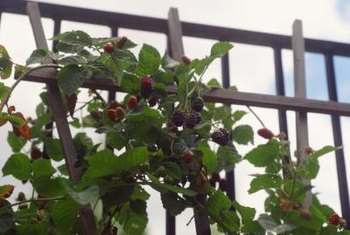 Blackberry bushes trained up a fence take advantage of vertical growing space.