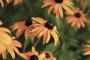 Grow black-eyed Susans as annuals in areas where not hardy.