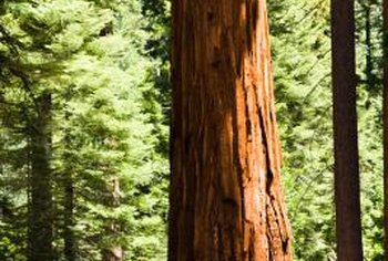 Giant sequoias grow to 275 feet but typically are shorter in landscapes.