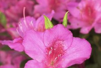 The azalea puts on a show with large and colorful flowers.