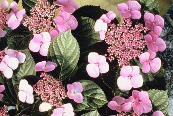 Twist-n-Shout is a lacecap type of bigleaf hydrangea.