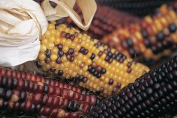 Some Indian corn varieties are ornamental but others can be eaten.