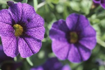 Petunias are tender annuals that tolerate heat well.