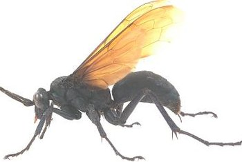Unlike bees, wasps are not hairy.