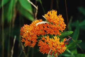 Orange butterfly weed attracts a variety of animals to the flower garden.