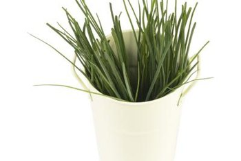 Egyptian onion greens are usually chopped and used as chives.