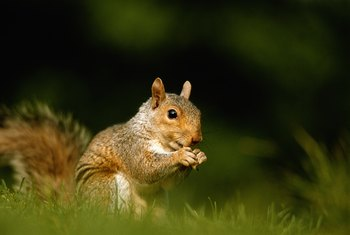 Squirrels' possess keen smelling abilities.