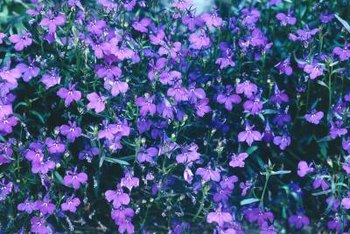 Scores of purplish blue lobelia flowers can brighten a garden bed.