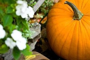 Place developing pumpkins on straw or wooden boards to prevent rotting.