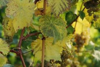 While the grapevine looks dead, by summer it will be covered with leaves.