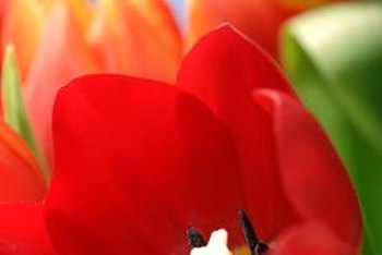 Tulips are photonastic and heliotropic, which means they respond to changing light conditions.