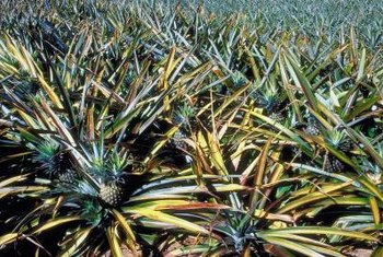 Pineapples are squat plants with leaves that sprawl upward and outward.