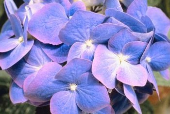Lavender, blue or pink hydrangeas all turn green as they age.