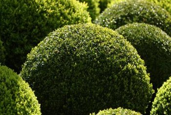 Boxwoods can be kept to any size with pruning.
