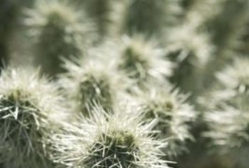 Cactus varieties with sharp spines might help protect your home.