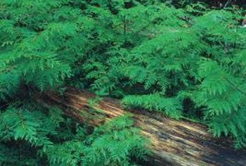 Ferns grow naturally in shaded, woody areas.