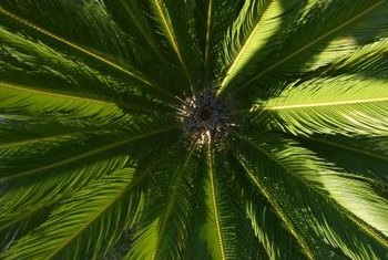 Technically not true palm trees, sago palms belong to the cycad family.