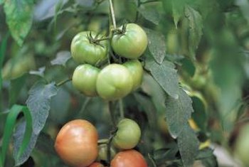 Choose pink tomatoes for ripening off the vine.