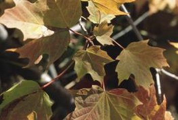 Eliminate maple seeds before they grow into problem weeds.