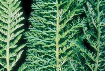 Ferny yarrow foliage grows only 3 to 5 inches tall.