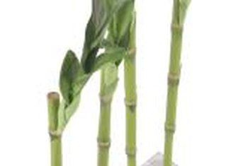 Proper care for lucky bamboo encourages healthy growth.