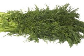 Dill, harvested for the leaves, is called dill weed.