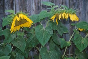 Plants often go limp because of late-summer heat.