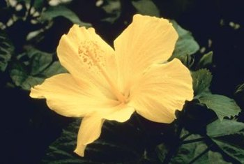 To encourage blooming, make sure your hibiscus gets full sun.