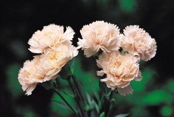 Dianthus make excellent cut flowers.
