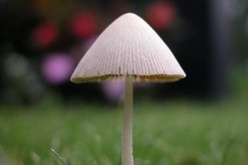 The common lawn mushroom is only part of the problem.