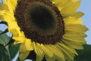Prune tall sunflowers to keep their growth manageable.
