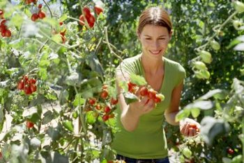 For high yields, grow tomatoes in a sunny area of the garden.