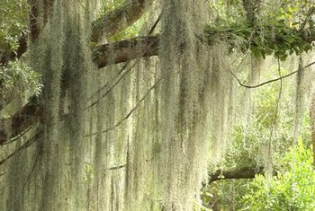 Spanish moss is a non-parasitic plant that grows on tree branches.