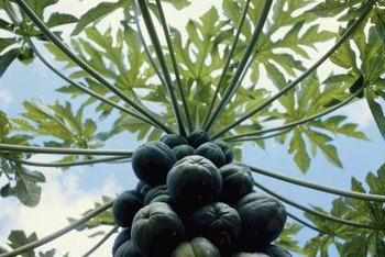 Established trees bear papaya fruit all year long.