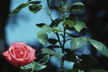 Rose bushes need between 1 to 2 inches of water a week.