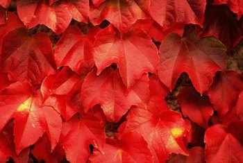 Virginia creeper displays handsome red and orange foliage in fall and winter.