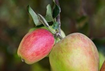 Apples grow in clusters of two or more fruit.