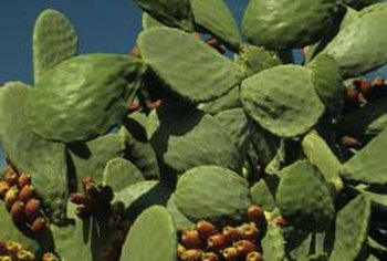 Indian fig produces edible fruits in the summer.