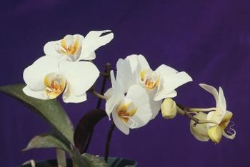 Orchid leaves hint at the plant's health.