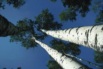Baltic birch is a cousin of the North American paper birch.